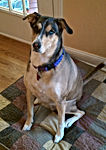 Large female tan white and brown dog with blue eyes sitting on quilt blanket pet sitting client named daisy