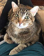 female tabby tortoiseshell cat laying on a lap looking into camera