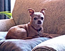 older female tan chihuahua sitting on chair dog sitting client named belle
