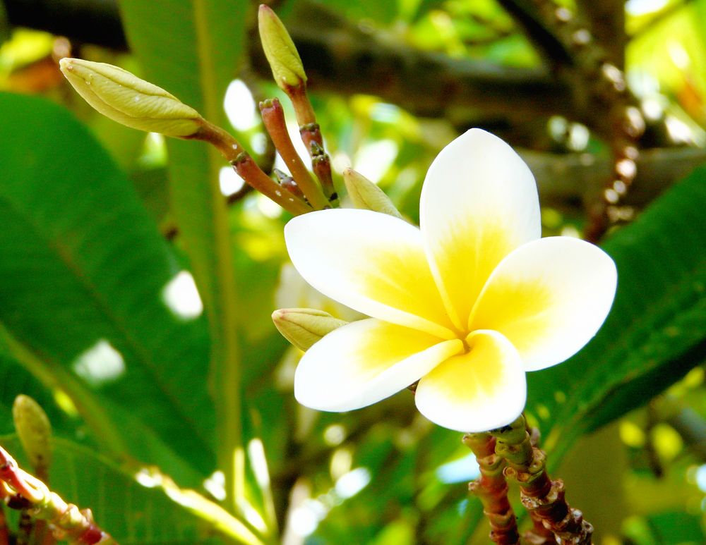 Iconic Tropical Flower, Hawaiian Flower, Plumeria