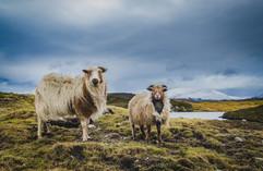Sheep, South Lochs, Isle of Lewis