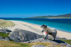 Sheep, Luskentyre, Isle of Harris