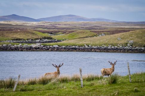 Deer, Locheport, Isle of North Uist