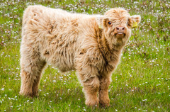 Highland calf, Isle of Benebcula