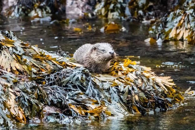 Otter, Hushinish, Isle of Harris