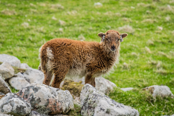 Soay sheep, St. Kilda