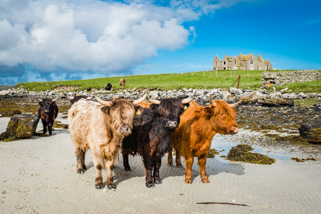 Highland cattle, Vallay, Isle of North Uist