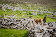 Soay sheep, St. Kilda