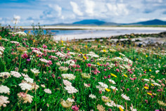 Machair flowers, Orasay, Isle of South Uist