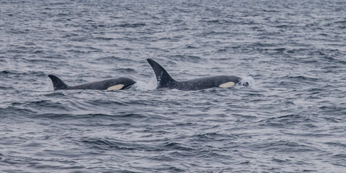 Orca near St. Kilda
