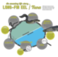 Long-fin eel lifecycle