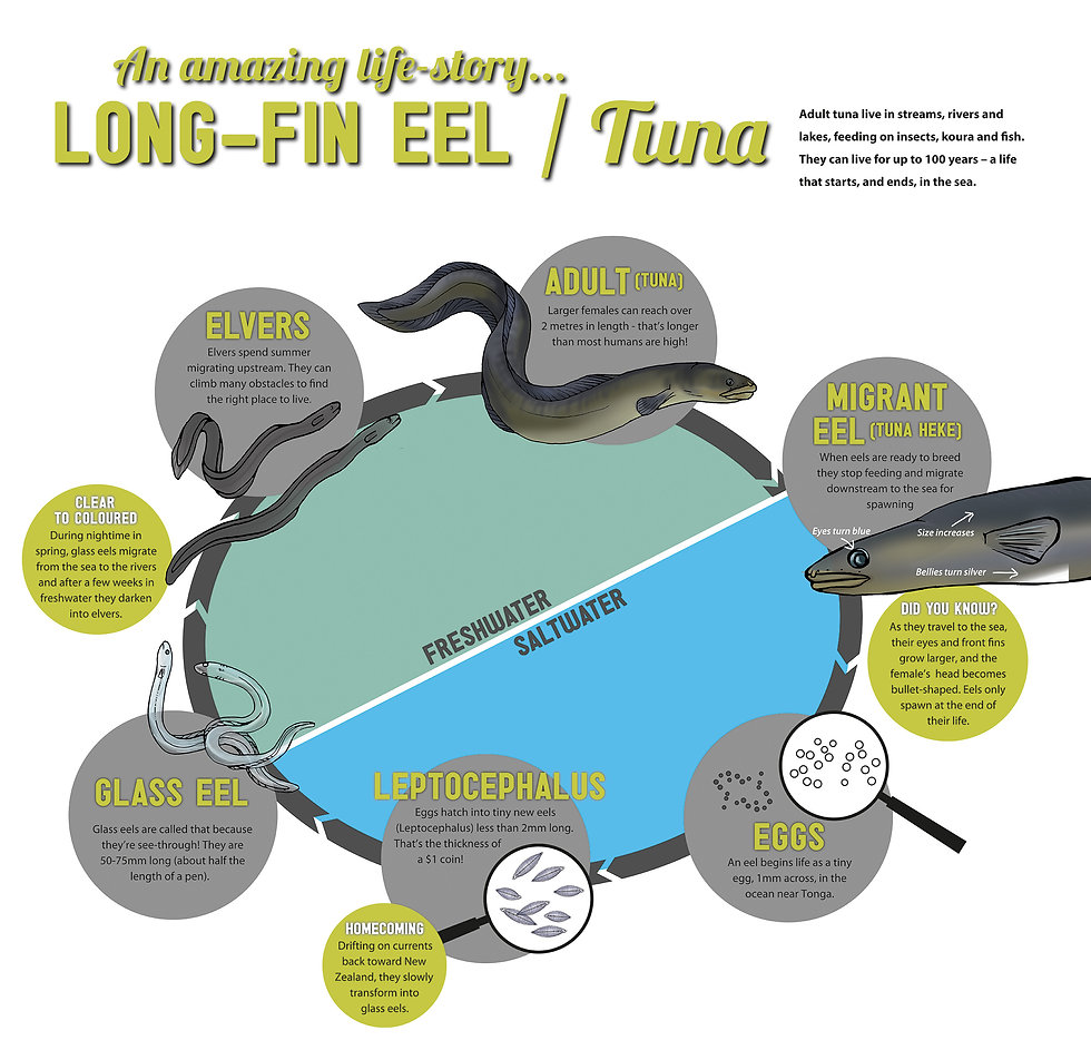Long-fin eel lifecycle