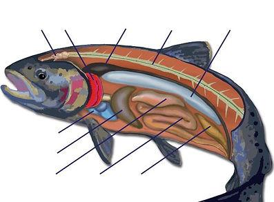 Trout Anatomy Worksheet