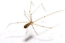 Daddy long legs spider.jpg