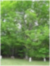 Hall maple tree .jpg