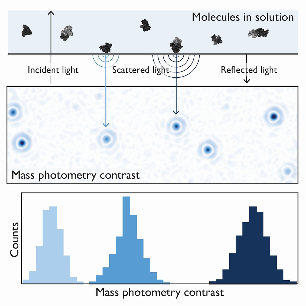 The principle of mass photometry. The light scattered by a molecule in contact with a measurement surface interferes with light reflected by that surface. The interference signal scales linearly with the molecule's mass.