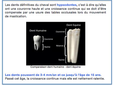 Comparaison dent humaine/dent équine