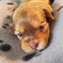 Three week old Havashu puppy