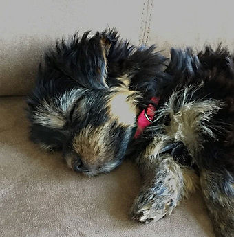 saff pup sleeping cu.jpg