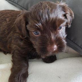 Chocolate Chocolate Havashu Puppy