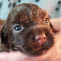 Chocolate Havashu Puppy