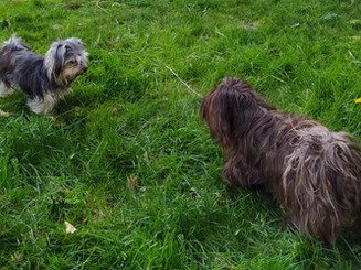 Dam and Sire Havanese parents