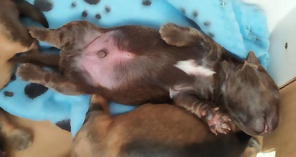 Havanese puppy Thumpers blaze.jpg