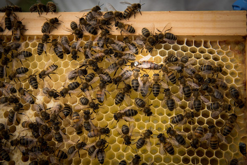 Bees on wax in frames