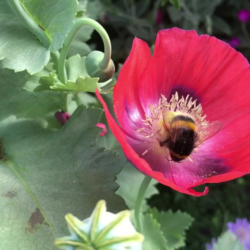 Bumblebee in a red poppy