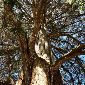 Underneath the Alice Tree: A Blog