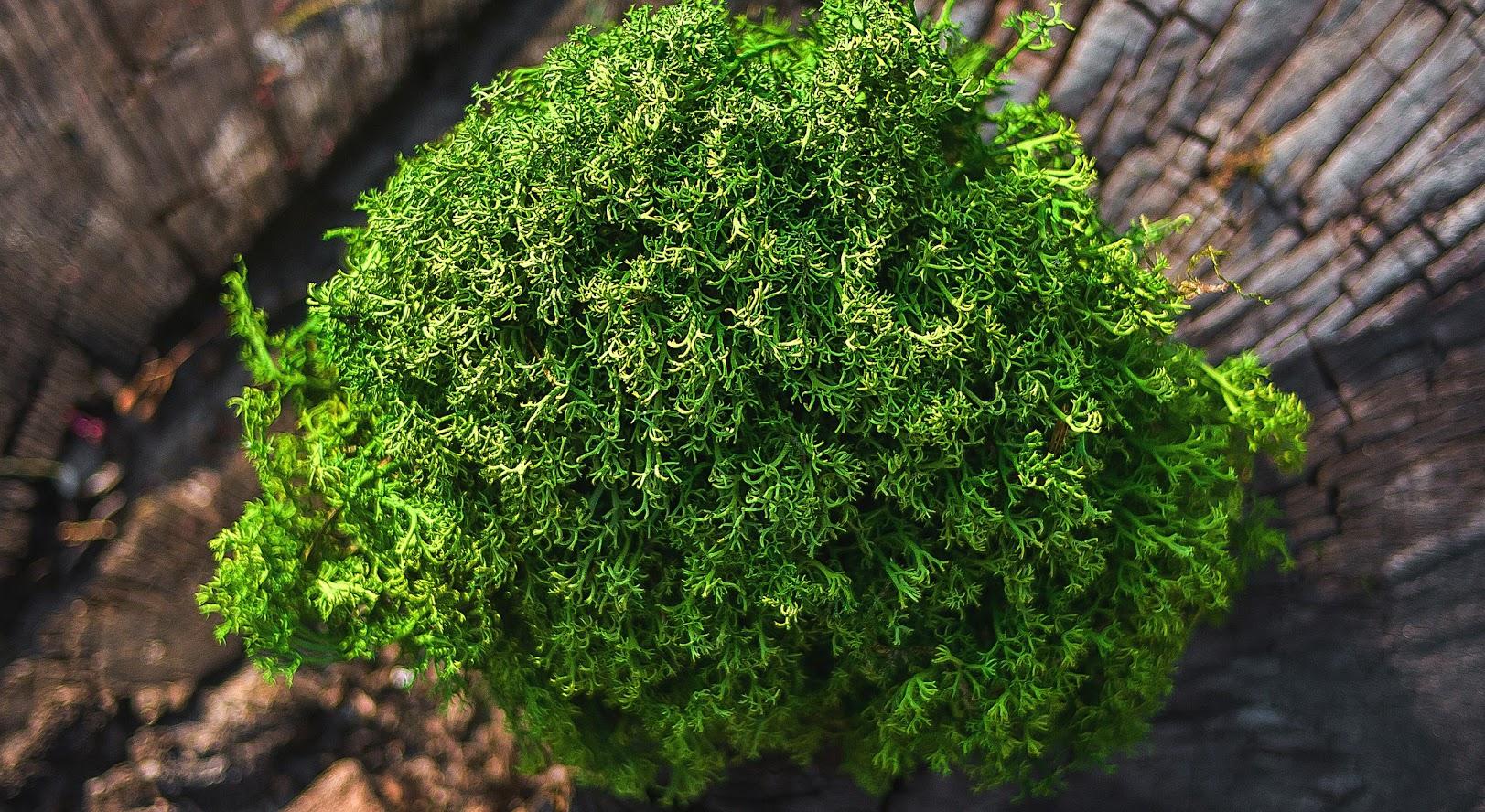 Ягель зеленый