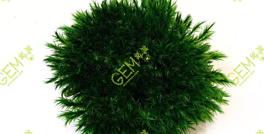 Мох стабилизированный Прованс королевский GEM темно-зеленый