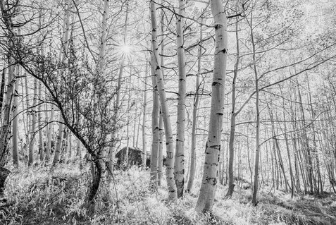Aspens in Black and White