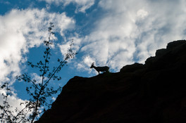 Mountain Goat, Zion NP