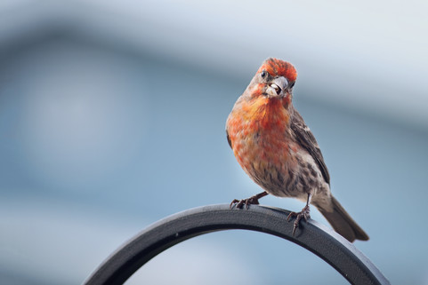 2018-05-05HouseFinch427.jpg