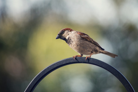 2018-05-10HouseSparrow603.jpg
