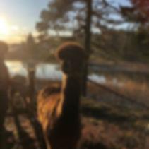 Alpakkavandring med fine folk på en fin