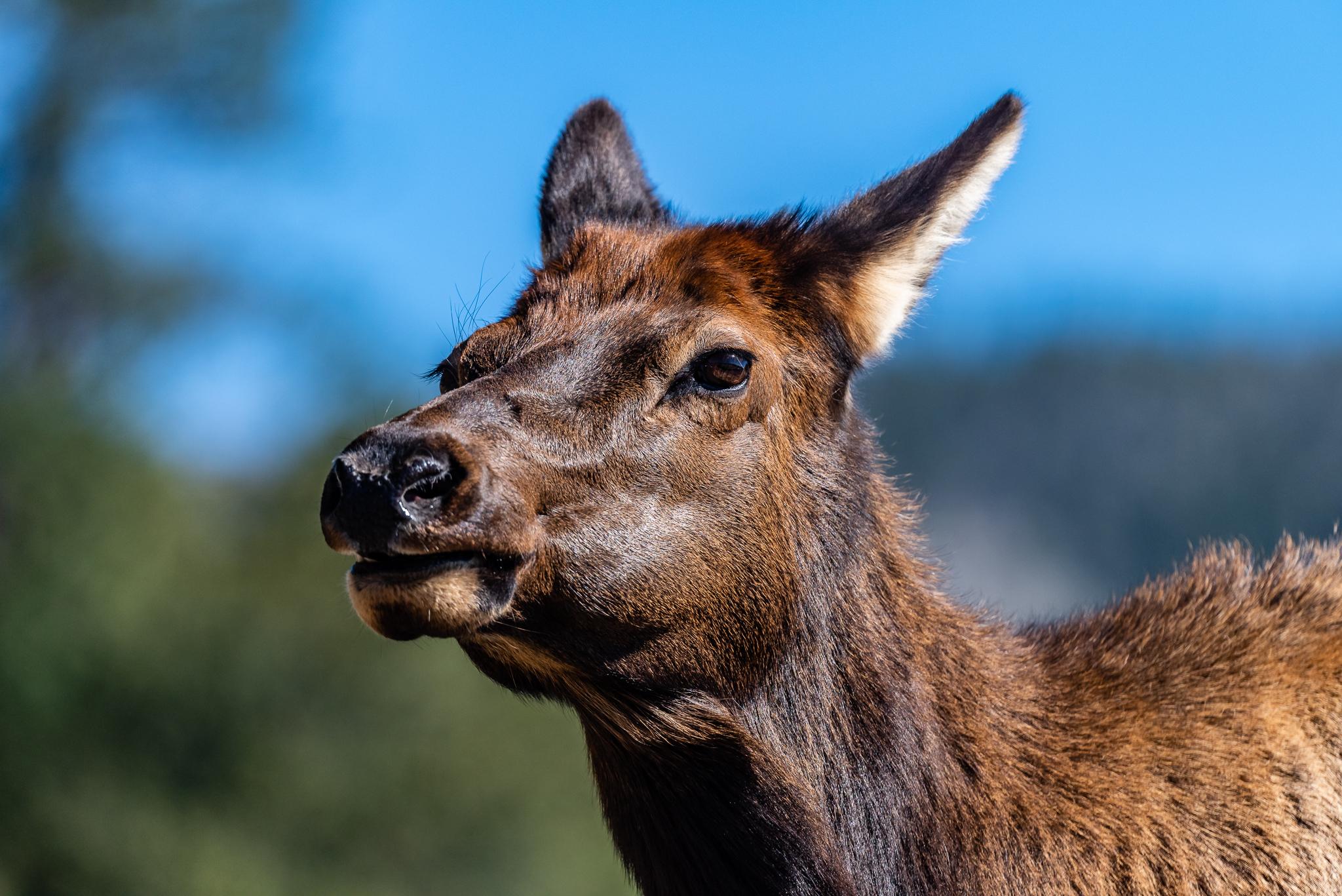 Elk Cow