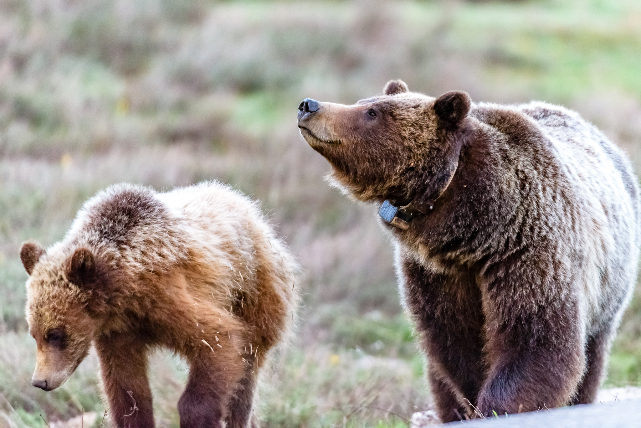 Grizzly 399 with one of her cubs.