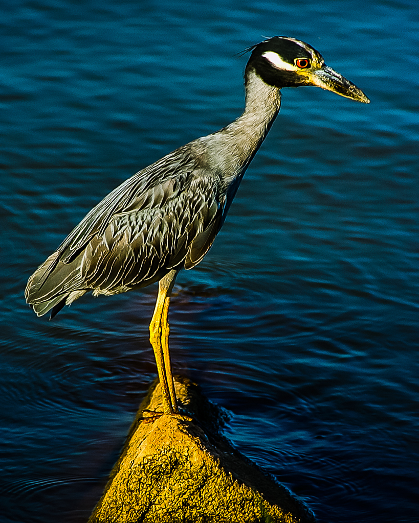 Immature Yellow-crowned Night-Heron
