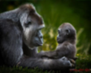 gorillas, baby, mother