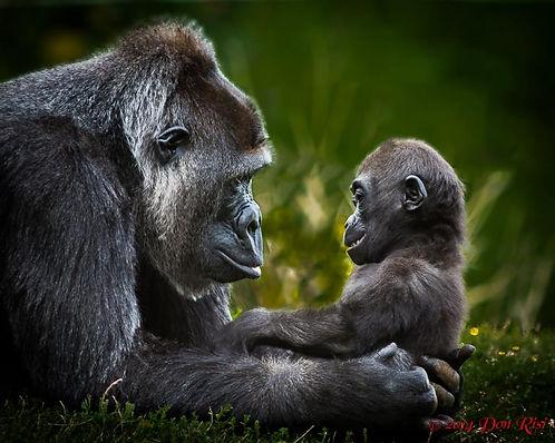 gorillas, baby, mother