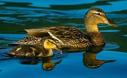 Mallard Hen & Chick