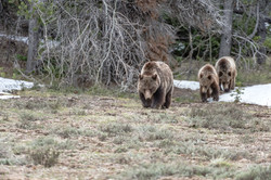 Grizzly 399 with her cubs.