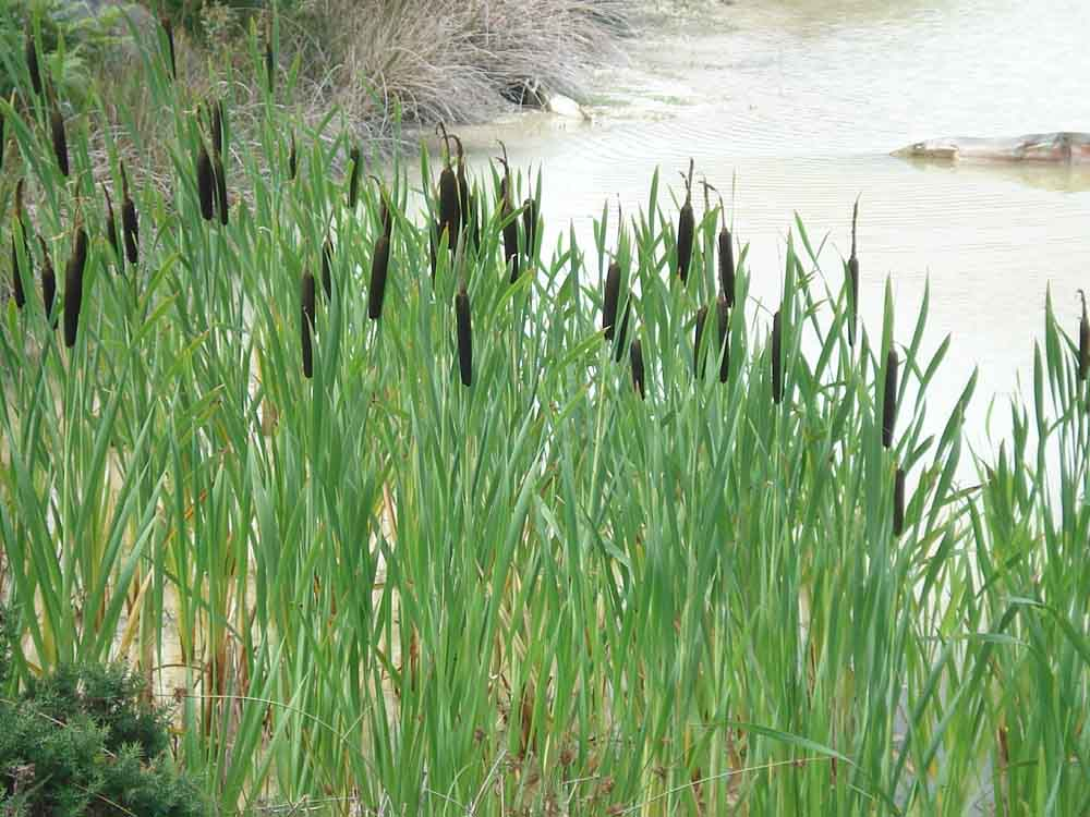 Bulrush could be used as tinder