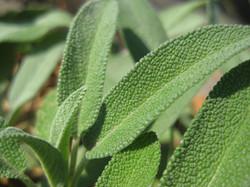 Herbs (Sage)