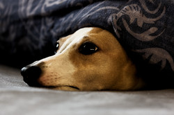 Italian Greyhound Hiding