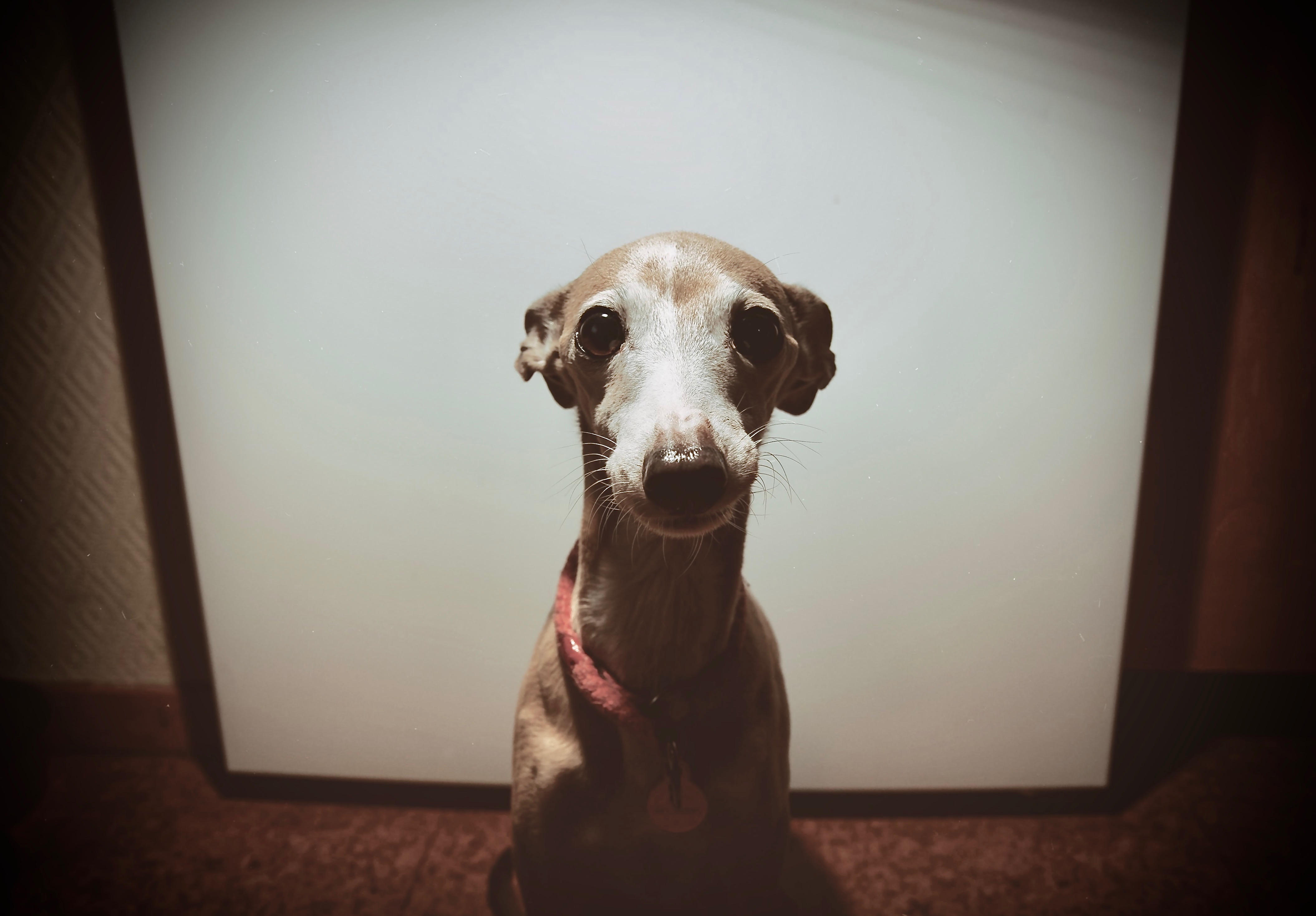 Italian Greyhound Begging