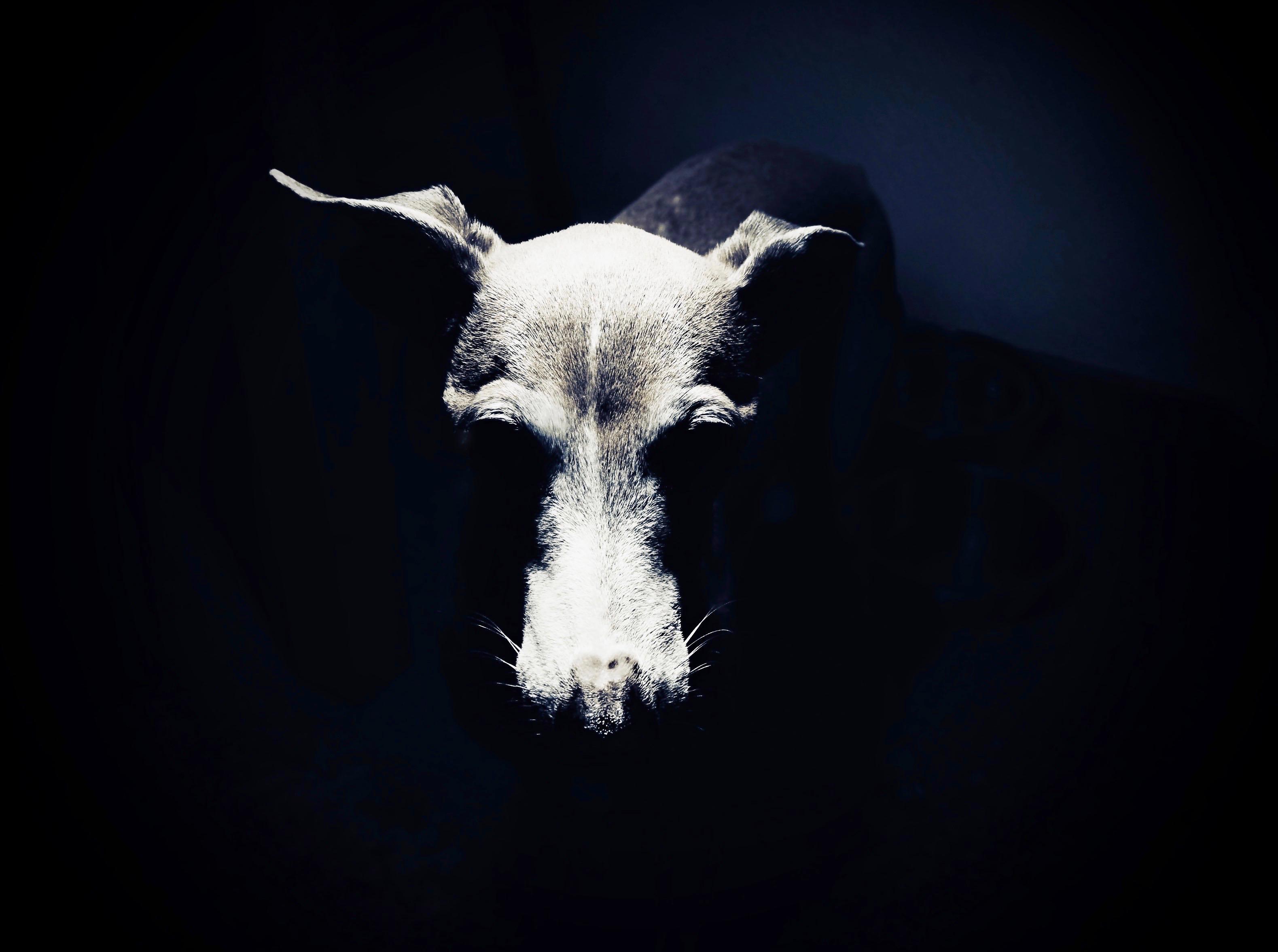 Italian Greyhound Scary