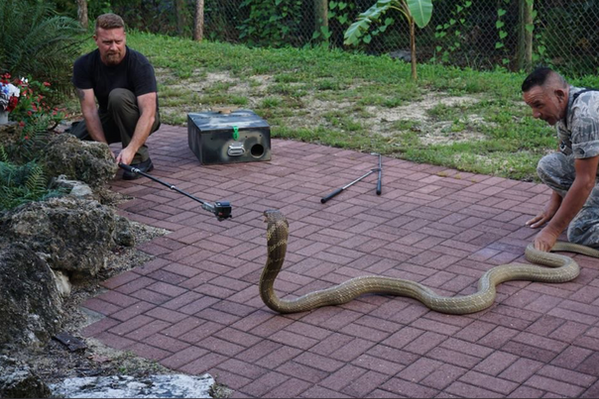 Scott Goodknight films Albert Killian Freehandling Venomous King Cobra